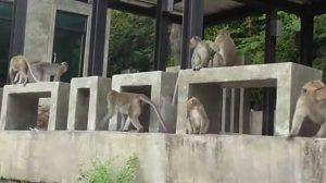 นักท่องเที่ยวแย่งลูกลิง ถูกรุมกัดสาหัส