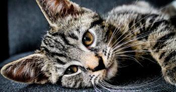 แมวเลียหน้า