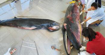 วาฬโอมูระ เกาะลันตา