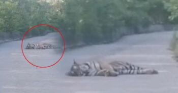เสือโคร่งไซบีเรีย แท็กซี่จีน