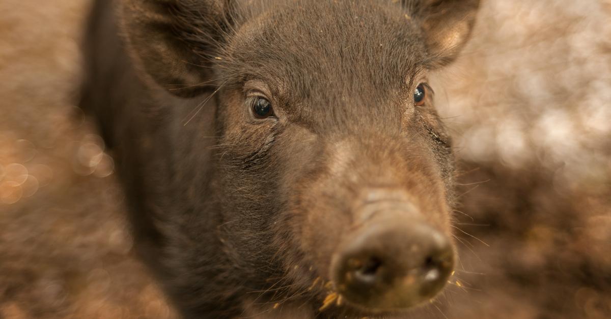 dream-boar