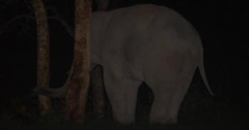 ช้างป่า พลายสาริกา
