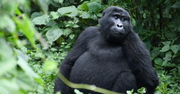us-gorilla-infected-covid19ปก