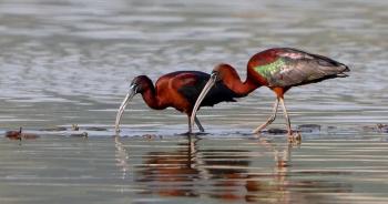 china-glossy-ibisปก