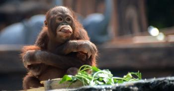 indonesia-sumatran-orangutanปก