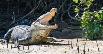 australia-crocodile-attackingปก