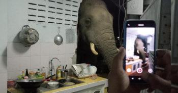 ช้างบุกทะลุกำแพงห้องครัว